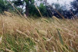grassy-field